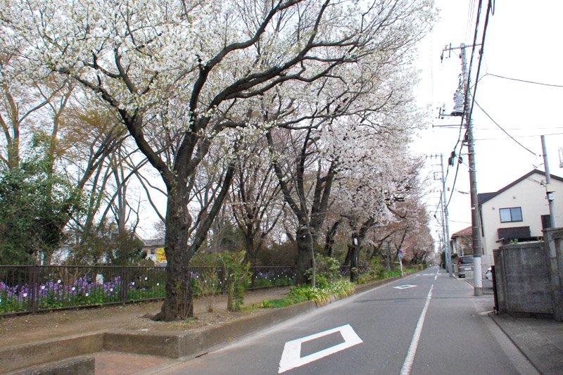玉川上水 小金井桜