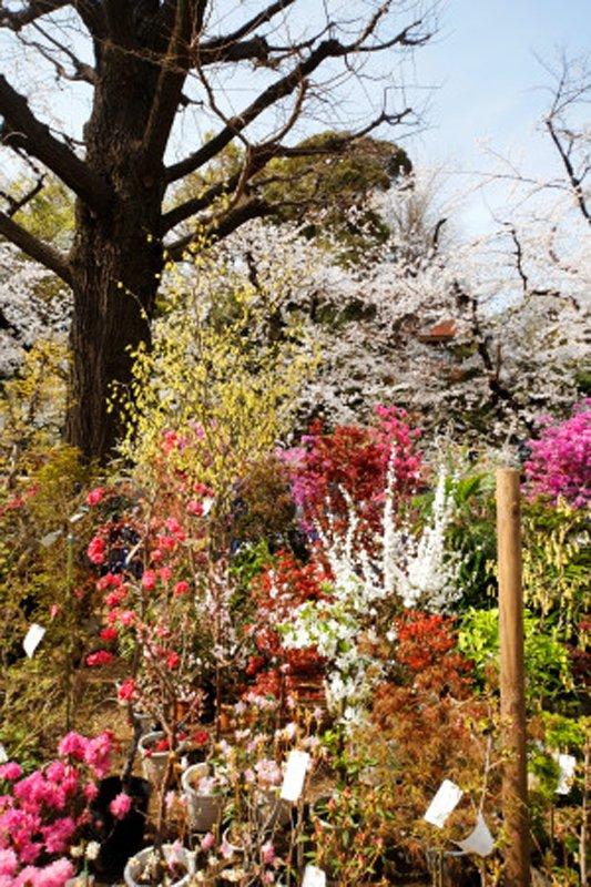 約400本の桜が咲く「靖国神社」
